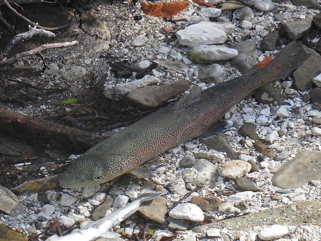 marble trout salmo marmoratus slovenia