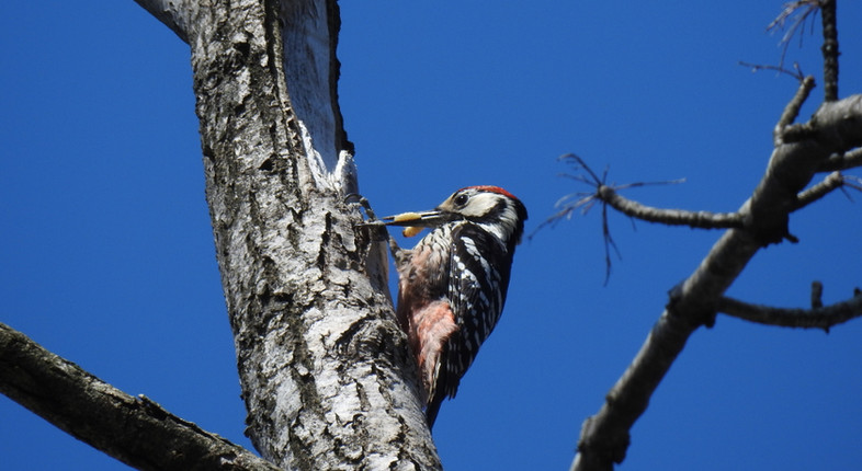 White-backed_Woodpecker_Dendrocopos_leucotos