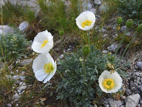 papaver alpinum ssp. ernesti-mayeri slovenia