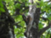 middle spotted woodpecker dendrocopos medius slovenia