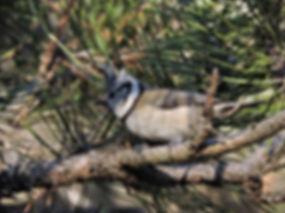 crested tit lophophanes cristatus slovenia