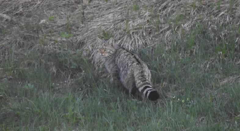Wildcat_Felis_silvestris