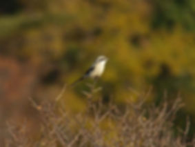 great grey shrike lanius excubitor slovenia