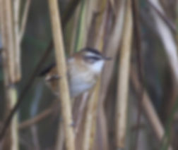 moustached warbler acrocephalus melanopogon slovenia