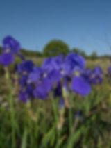 iris illyrica slovenia