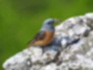 rock thrush monticola saxatilis slovenia