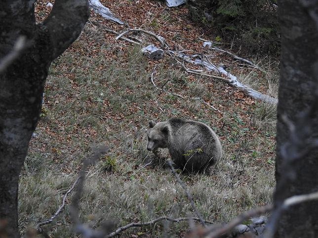 brown_bear_ursus_arctos_slovenia