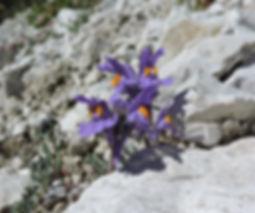 Linaria alpina slovenia