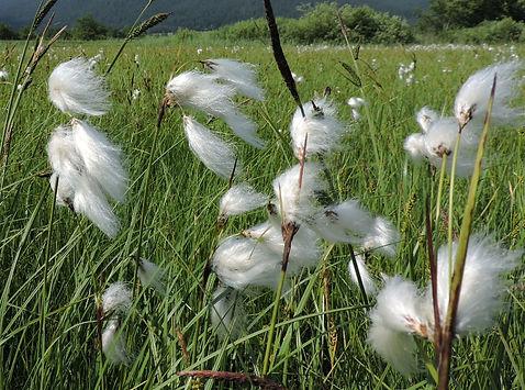 Eriophorum angustifolium slovenia