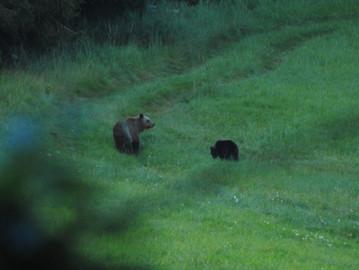 Brown Bear (Ursus arctos), Dinaric mountains, Slovenia