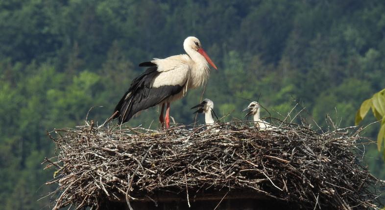 White_Stork_Ciconia_ciconia