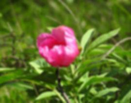 Paeonia officinalis slovenia