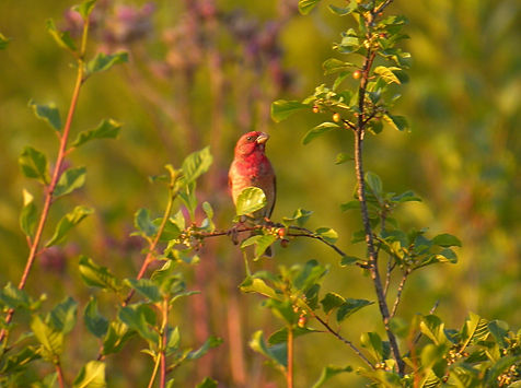 common rosefinch carpodacus erythrinus slovenia