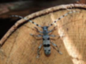 DSCN1277 Rosalia alpina.JPG