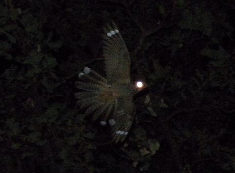 nightjar caprimulgus europaeus slovenia