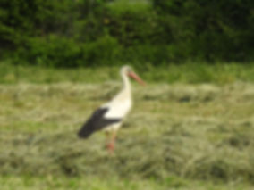 white stork ciconia ciconia slovenia