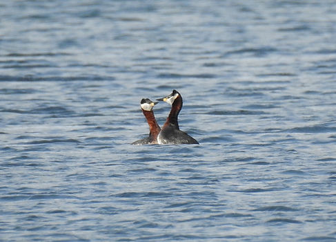 red-necked grebe podiceps grisegena slovenia