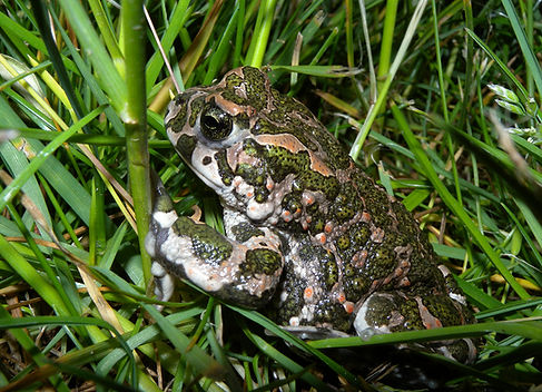 green toad bufo viridis slovenia