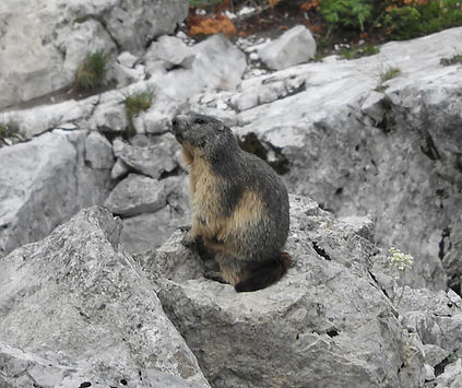 alpine marmot marmota marmota slovenia