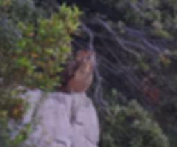 eagle owl bubo bubo slovenia