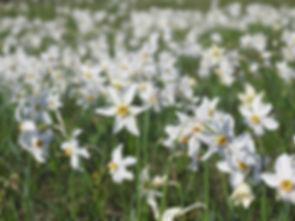 DSCN6014 Narcissus poeticus.JPG