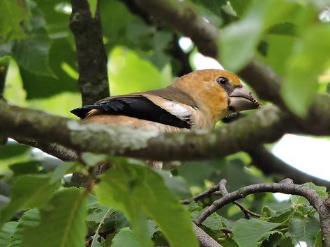 hawfinch coccothraustes coccothraustes slovenia