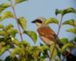 red-backed shrike lanius collurio slovenia