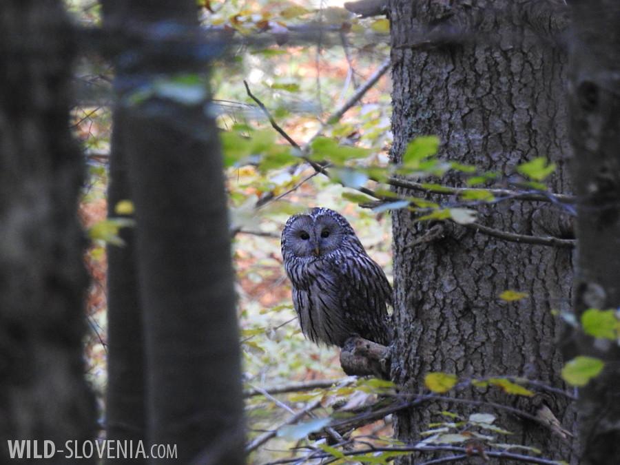 Ural_Owl_Strix uralensis