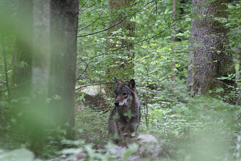IMG_2460 Canis lupus by Alberto Nevola s