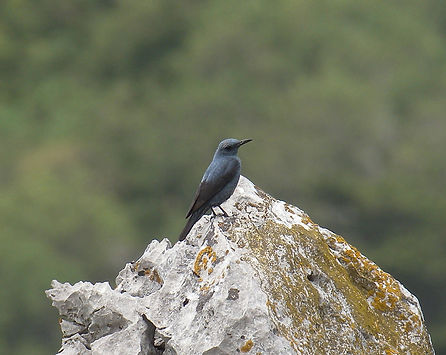 blue rock thrush monticola solitarius slovenia