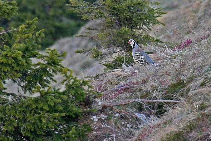 rock partridge alectoris graeca slovenia