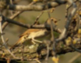 nightingale luscinia megarhynchos slovenia