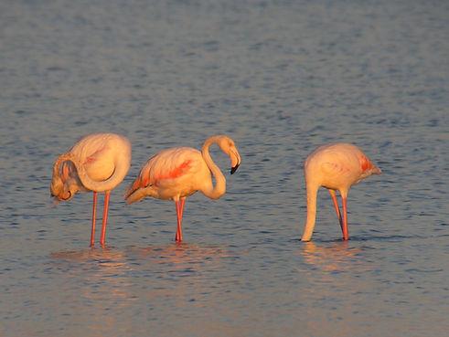 flamingo_phoenicopterus_roseus_slovenia