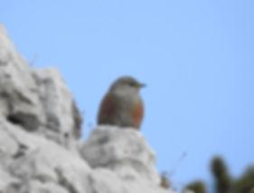 alpine accentor prunella collaris slovenia