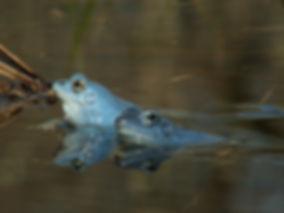 moor frog rana arvalis slovenia