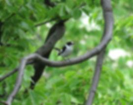 collared flycatcher ficedula albicollis slovenia