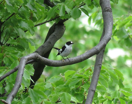 collared flycatcher ficedula albicollis slovenia