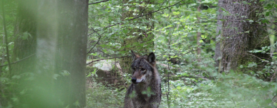 Wolf (Canis lupus) in the Javorniki mountains,by tour participant Alberto Nevola