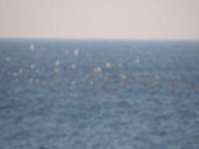 yelkouan shearwater puffinus yelkouan slovenia