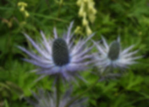 Eryngium alpinum slovenia