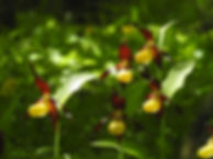 lady's slipper cypripedium calceolus slovenia
