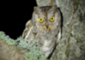 scops owl otus scops slovenia