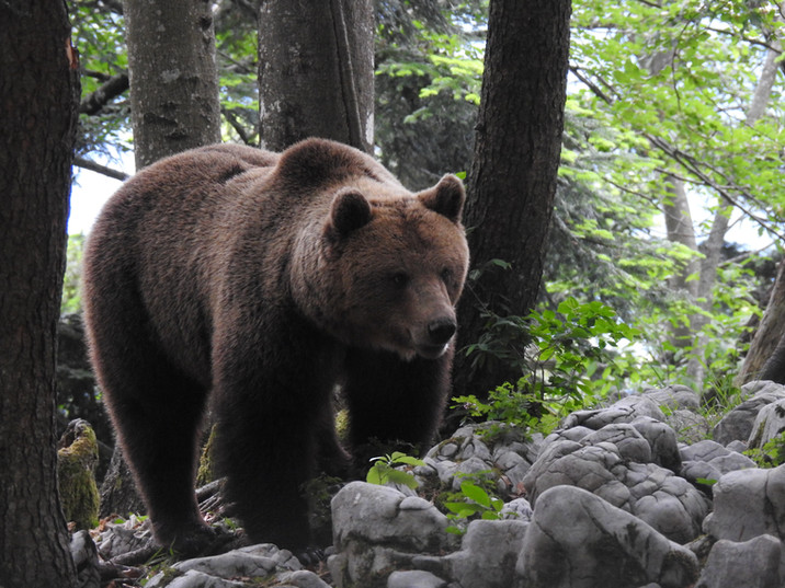 Brown Bear (Ursus arctos), Dinaric mountains, Slovenia