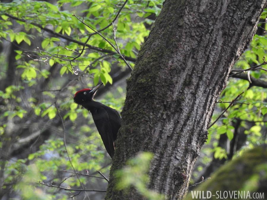 Black_Woodpecker_Dryocopus_martius