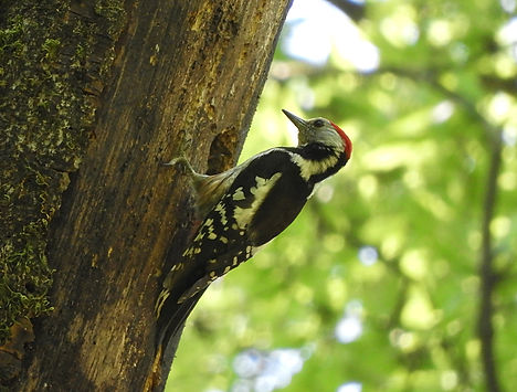 middle spotted woodpecker dendrocopos medius slovenia