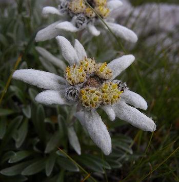 Leontopodium alpinum slovenia