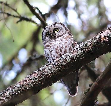 tengmalm's owl aegolius funereus slovenia