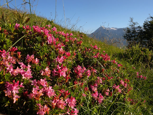 rhododendron alps slovenia