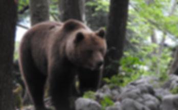 brown bear ursus arctos slovenia
