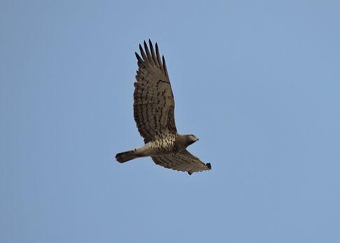 short-toed eagle circaetus gallicus slovenia